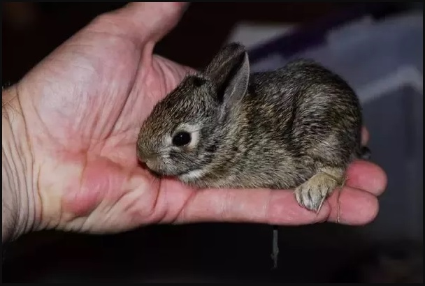 How To Tell How Old A Baby Rabbit Is?