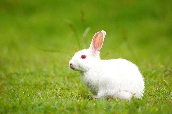Rabbit as pet